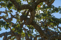Live Oak Tree Lizenzfreies Stockbild