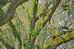 Live oak tree. The inside view of a live oak tree Royalty Free Stock Photography