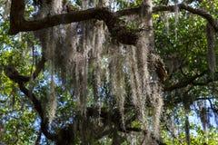 Live Oak Tree Draped im spanischen Moos Lizenzfreies Stockbild
