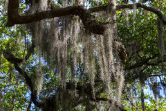 Live Oak Tree Draped in Spanish Moss Royalty Free Stock Image