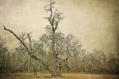 Live Oak Tree du sud ravagé par tempête photo stock