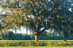 Live Oak Tree in field behind fence. Live Oak tree with Spanish moss in pasture, field, or meadow behind four board country, farm, or ranch overgrown wood fence Stock Image