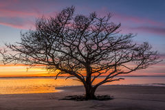 Live Oak Tree Growing auf Georgia Beach bei Sonnenuntergang Stockfotos
