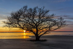 Live Oak Tree Growing on a Georgia Beach at Sunset Stock Image