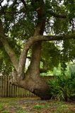Live oak tree grows horizontally Stock Photo