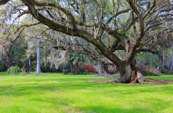 Live Oak Tree Hanging Moss Charleston South Carolina Stock Photos