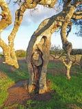 Live Oak Tree a Helen Putnam Park immagini stock
