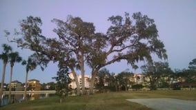 Live oak Royalty Free Stock Photo