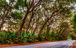 Live Oak Tree KLined Road Royalty Free Stock Image