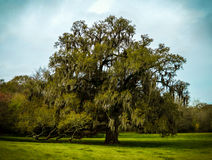 Live oak tree. Large Spanish moss covered live oak tree Stock Photo