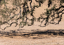 Live Oak tree limbs. Hang just above the ground royalty free stock image