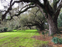 Live Oak Tree met Mos Stock Fotografie