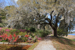 Live Oak Tree mit hängendem Moos Lizenzfreie Stockfotos