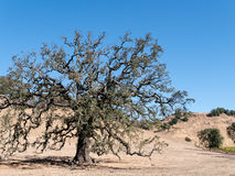 Live Oak tree Royalty Free Stock Image