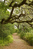 Live oak tree overhanging hiking trail Royalty Free Stock Image