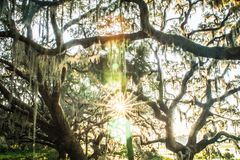Live Oak Tree with Quercus virginiana and Spanish Moss at sunset royalty free stock images