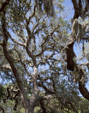 Live Oak Tree and Spanish Moss. Looking up into a huge live oak tree in Florida.  Graceful limbs are draped with Spanish moss.  Clear blue skies Stock Photo