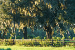 Live Oak tree with Spanish moss behind fence Stock Photo