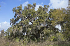 Live Oak Tree Royalty Free Stock Images