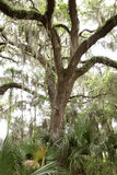 Live Oak Tree Stock Photography