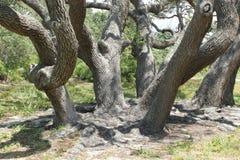 Live Oak Trees Fotografia Stock Libera da Diritti