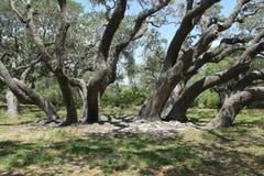 Live Oak Trees Royalty-vrije Stock Afbeelding