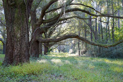 Live Oak Trees, Charleston SC Royalty Free Stock Photography