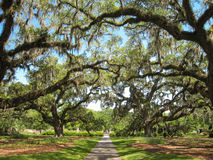 Live oak trees covered with spanish moss creating canopy Stock Photography