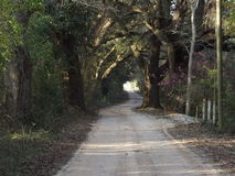 Live oak trees on a dirt road Royalty Free Stock Photos