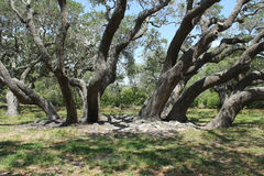 Live Oak Trees Royalty Free Stock Image