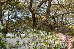 Live Oak Trees Loom Over White Azalea Flowers. In spring royalty free stock photos