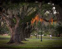Live Oak trees in New Orleans at sunset. This is an image of a line of Live Oak trees, in New Orleans uptown Audubon Park, with sunset light reflecting off the Royalty Free Stock Photos