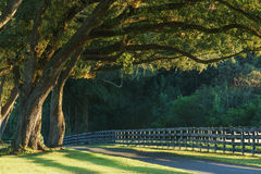 Live oak trees over road. Live oak trees with four board farm fence in the rural countryside farm or ranch by a road looking serene peaceful calm relaxing Stock Photography