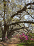 Live Oaks and Azaleas at Magnolia Plantation Stock Image