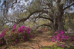 Live Oakes and Azaleas at Magnolia Plantation stock images