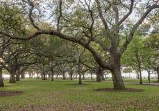 Live Oak Trees Stand à l'attention dans le jardin blanc de point Photographie stock libre de droits
