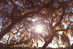 Live Oak trees at sunset. Sun beaming through Florida live oak trees with Spanish moss hanging down in the country at sunrise sunset or sunrise Royalty Free Stock Photo