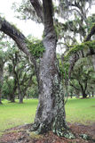 Live Oak Trunk Royalty Free Stock Photos