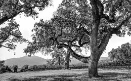 Live Oak Tree in Napa Valley Vineyard Stock Photography