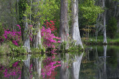 Live Oaks. And colorful azaleas reflecting in pond on Magnolia Plantation in Charleston South Carolina Royalty Free Stock Images