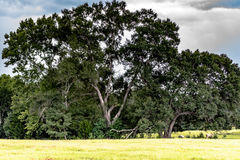 Live Oaks Immagine Stock