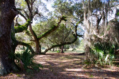 Live Oaks Along A Forest Trail Stock Image