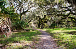 Live oaks along a forest trail royalty free stock photography