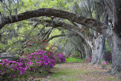 Live Oaks and colorful azalea. S on Magnolia Plantation in Charleston South Carolina Royalty Free Stock Photography