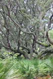 Live Oaks Cumberland Island GA Stock Photos