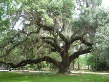 Live Oak Tree Stock Image