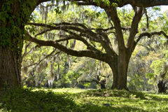 Live Oaks with Moss Stock Photography