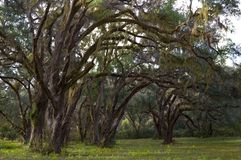 Live Oaks & Moss. Live Oaks and Spanish Moss in a rural setting Royalty Free Stock Image