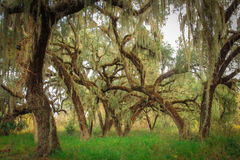 Live Oaks Stock Photography