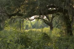 Live Oaks in the woods. Live Oaks covered in spanish moss alongside Paradise Road in Dillion, South Carolina stock photography